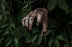 Tema di Halloween e di orrore: la mano sporca terribile con lo zombie nero delle unghie striscia dalle foglie verdi, apocalisse d Fotografia Stock Libera da Diritti