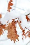 Tema do inverno As folhas do carvalho são cobertas com a neve Fotos de Stock Royalty Free