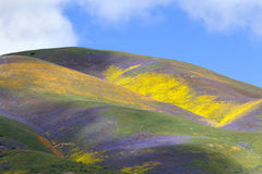 Temblor Range Wildflower. Mountains are covered with colorful wildflowers in Temblor Range, Carrizo Plain National Monument, CA royalty free stock photo