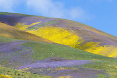 Temblor Range Wildflower Stock Image
