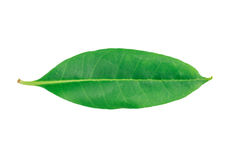 Tembusu-Blatt (Fagraea-fragrans Roxb ) lokalisiert auf weißem backgrou Lizenzfreie Stockfotografie
