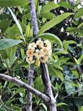 Tembusu eller Anan eller Fagraea fragrans eller den ironwood- eller Kan kraoen blommar Royaltyfria Foton