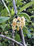 Tembusu eller Anan eller Fagraea fragrans eller den ironwood- eller Kan kraoen blommar Royaltyfri Bild