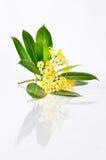 Tembusu flowers. (Fagraea fragrans Roxb Stock Image