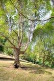Tembusu Trees Stock Image
