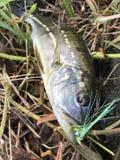 Temensis da pesca travado na mosca fotos de stock