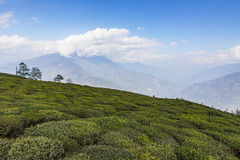 Temi Tea Garden with mountain and enormous cloud in the background in winter near Gangtok. Sikkim, India Royalty Free Stock Photography