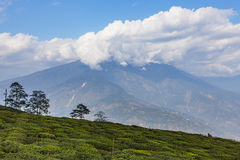Temi Tea Garden with mountain and enormous cloud in the background in winter near Gangtok. Sikkim, India Stock Image
