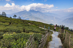 Temi Tea Garden with mountain and enormous cloud in the background in winter near Gangtok. Sikkim, India Royalty Free Stock Image