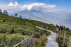 Temi Tea Garden with mountain and enormous cloud in the background in winter near Gangtok. Sikkim, India Stock Photos