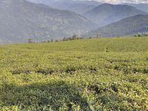 TEMI TEA GARDEN. The one and only tea garden in sikkim .. Approximately 7000+ feet from sea level ... With a beautiful scenic beauty royalty free stock image