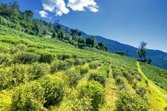 Temi teträdgård, Ravangla, Sikkim Fotografering för Bildbyråer