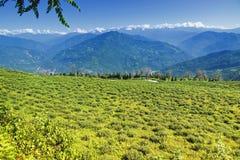 Temi teträdgård, Ravangla, Sikkim Royaltyfri Foto