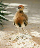 Temminck`s Courser 1 Royalty Free Stock Photos