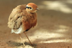 Temminck's courser Royalty Free Stock Photos