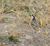 Temminck's Courser Royalty Free Stock Photo