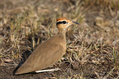 Temmincks courser. Temminck courser (Cursorius temminckii) sitting in the grass with brown background stock photo