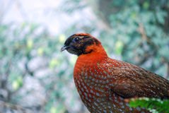 Temminck's satyr (Tragopan temmincki) Stock Photo