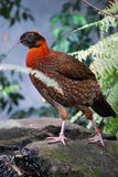 Temminck's satyr (Tragopan temmincki) Stock Photography