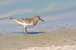 Temminck S Stint Stock Image