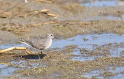 Temminck's Stint. (Calidris temminckii) falls in the category Waders or Shore Birds. They mostly spotted at shallow banks of Wetlands including Lakes, Ponds and Stock Photo
