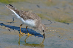 Temminck's Stint (Calidris temminckii) Stock Photography