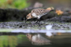 Temminck's Stint Calidris temminckii Royalty Free Stock Photo