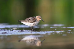 Temminck's Stint Calidris temminckii Royalty Free Stock Images
