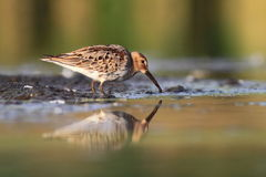Temminck's Stint Calidris temminckii Stock Photos