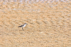 Temminck's Stint Stock Photography
