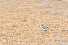 Temminck's Stint Stock Image
