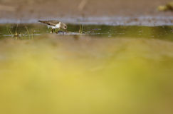 Temminck's stint Royalty Free Stock Photo