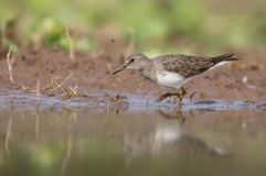 Temminck`s stint. Is a small wader. This bird`s common name and Latin binomial commemorate the Dutch naturalist Coenraad Jacob Temminck stock image