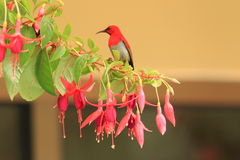 Temminck's sunbird Stock Image