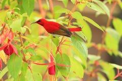 Temminck's sunbird Stock Photos