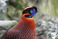 Temminck's tragopan. The Temminck's tragopan (Tragopan temminckii) in the meadow Stock Photography