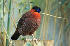 Temminck's Tragopan Royalty Free Stock Image