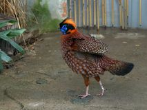 Temminck's Tragopan Stock Photos