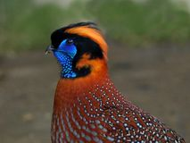 Temminck's Tragopan Royalty Free Stock Photo