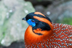 Temminck's tragopan Royalty Free Stock Images