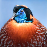 Temminck's Tragopan III. A Profile Portrait of a Temminck's Tragopan Against a Blue Background Royalty Free Stock Photography