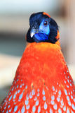 Temminck's Tragopan Royalty Free Stock Photography
