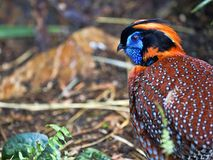 Temminck`s Tragopan, Tragopan temminckii, is probably the most beautiful pheasant. The Temminck`s Tragopan, Tragopan temminckii, is probably the most beautiful Royalty Free Stock Photos