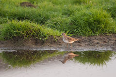 Temminck stint reflection Stock Image