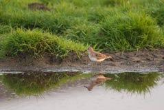 Temminck stint. Temmincks stint by a pond in spring Stock Image