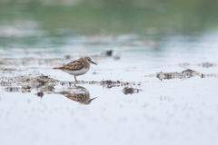 Temminck stint Royalty Free Stock Images