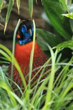 Temminck tragopan. The detail of adult male Temminck tragopan in the grass Royalty Free Stock Photo