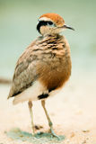 Temmincks Courser royalty free stock photos