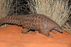 Temmincks ground pangolin in natural habitat stock image
