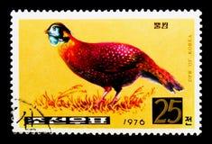 Temmincks Tragopan Tragopan temminckii,野鸡serie,大约1976年 免版税图库摄影